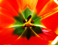 Photo of a tulip with increased detail
