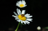 Bee on camomile photo