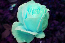 Photograph of the turquoise rose after changing the tone of the color