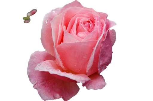Photo Of Rose Image With Transparent Background