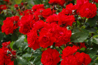 Small picture of a bush of red roses